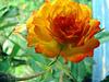 Elegant Rose.