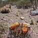 McDowell Sonoran Preserve Flowering Cactus
