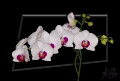 Orchids on black