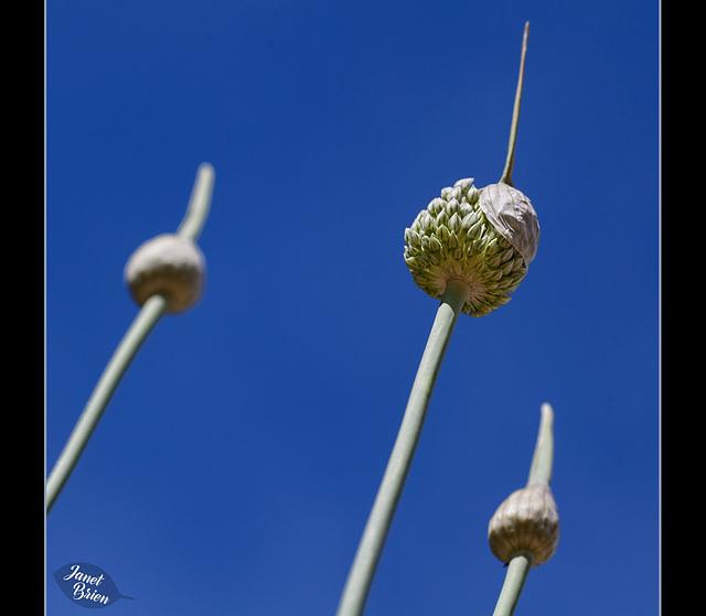 315/366: Garlic Marathon 7/9--Jaunty Hat