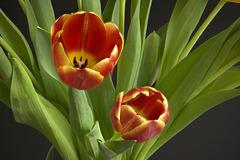 Tulipes des Pays Bas