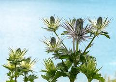 Eryngium alpinum - Panicaut des Alpes, Eringio delle Alpi, Alpen-Mannstreu