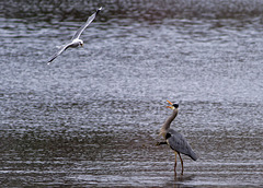 Contretemps between Gull and Heron
