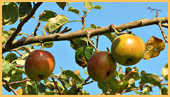 Le Temps des pommes !