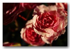 Rosen im Dezember - für Fritz zum Geburtstag
