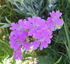 Oeillet rose sauvage / Wild pink carnation