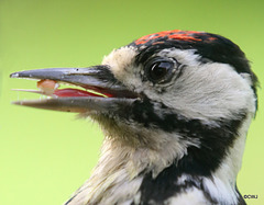 Have you ever wondered what a woodpecker's tongue looked like?!