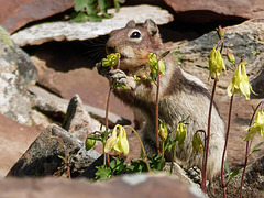 Golden-mantled Ground Squirrel munching on Yellow Columbine