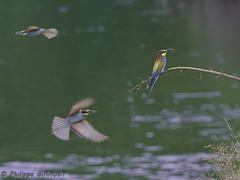 Guêpiers d'Europe (Merops apiaster - European Bee-eater)