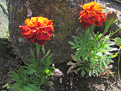French Marigolds.