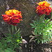 French Marigolds.
