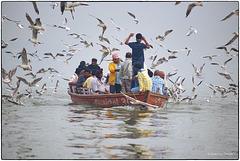 Nuée de mouettes sur le Gange