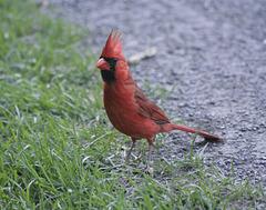 Monsieur Cardinal / Mr Cardinal