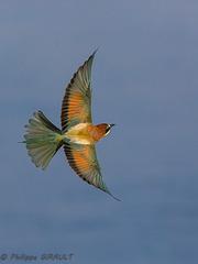 Guêpier d'Europe (Merops apiaster - European Bee-eater)