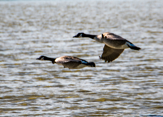 Canada geese5