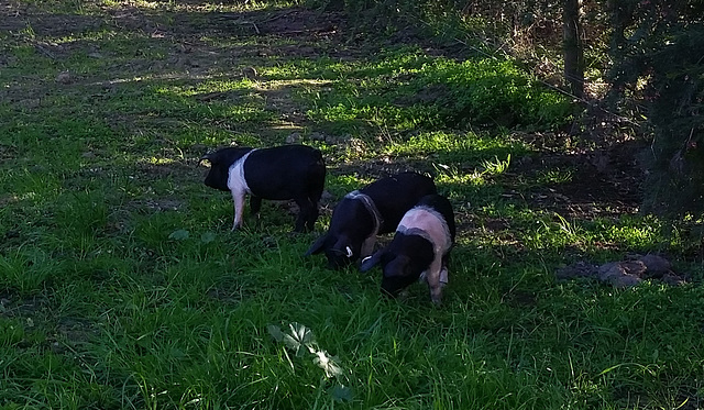 our new piglets!