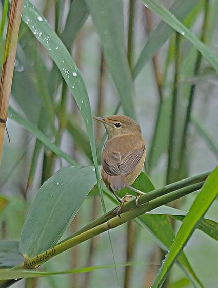 Reed Warbler (Juvenile)   /   July 2018
