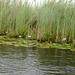 Uganda, Lotuses on the Wetlands of Mabamba