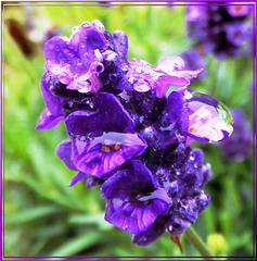 Lavendel im Regen. Lavender in the rain. ©UdoSm