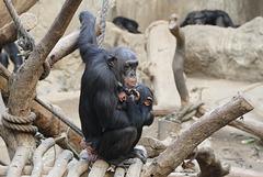 Schimpansendame mit Kind