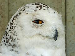 Snowy Owl in rehab