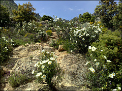 Gum cistus and granite. The path up to El Cancho Gordo.