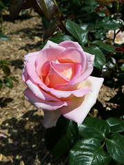 Oh ma rose...