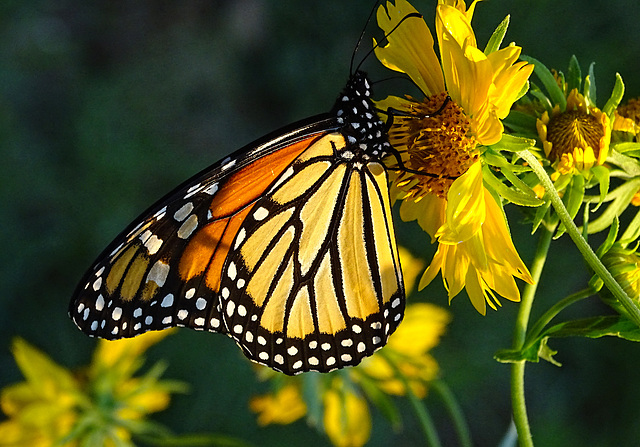 Monarch butterfly (Danaus plexippus)11-10-2015