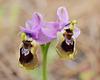 Ophrys tenthredinifera, Monte Gordo