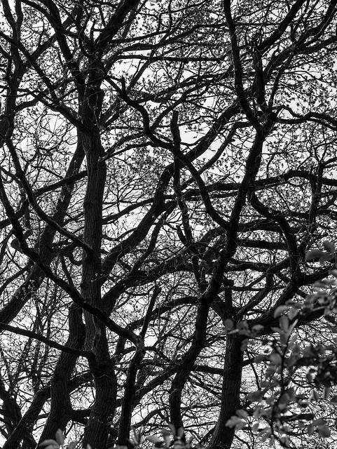 Woodland tracery
