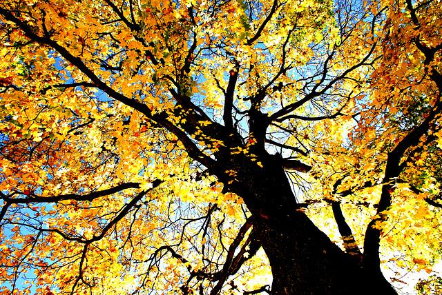Herbstlaub am Baum. ©UdoSm