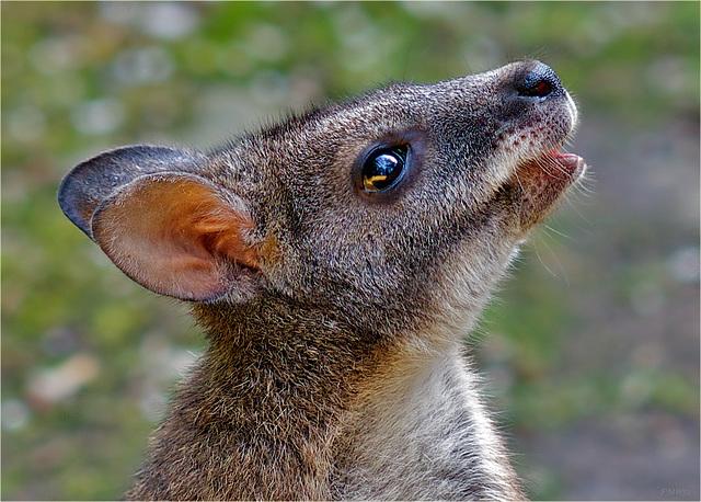 Portrait Parma Wallaby