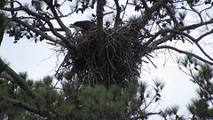 Bald eagle feeding hidden babies