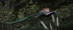 paon - parc aux oiseaux Villars les Dombes