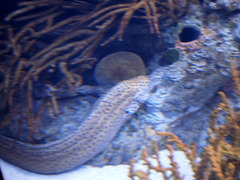 Laced moray (Gymnothorax favagineus).