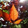 Copper beech leaves 1