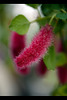 Dwarf Cat'sTail Flower