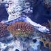 Starry moray (Echidna nebulosa).