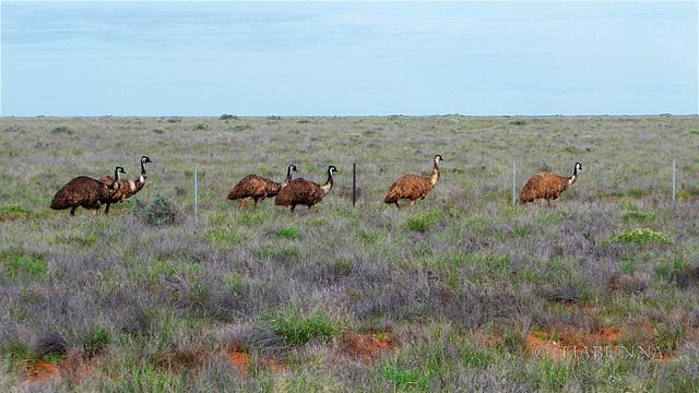 Wandering emus