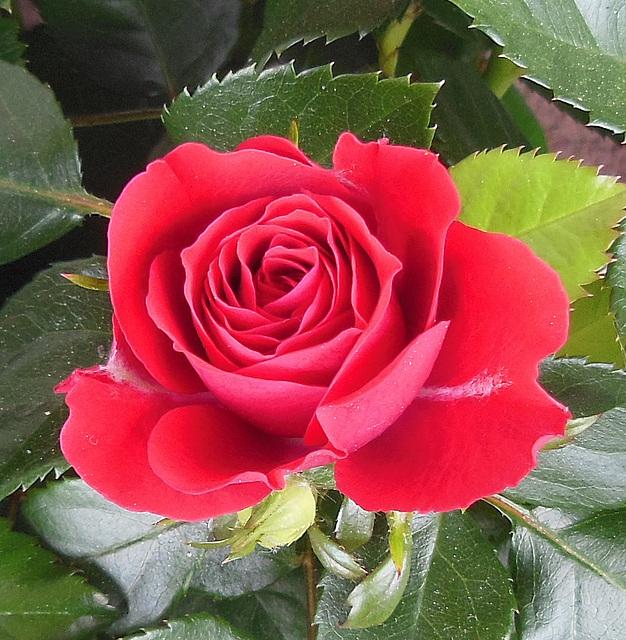 Bonne St-Valentin / Happy Valentine's Day