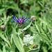 Centaurea montanus (Cyanus montanus)