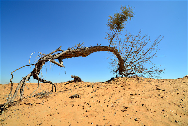Dubai, Desert tree