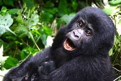 Uganda, Bwindi Forest, Portrait of a Young Gorilla