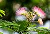 Mimosa Tree (Explored)