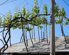 Rooftop vines