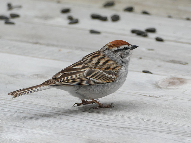 Chipping Sparrow, Tadoussac, Quebec