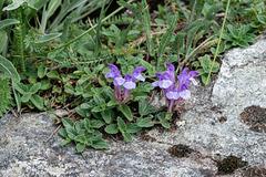 Scutellaria alpina, Alpen-Helmkraut