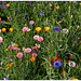 Gifts of the summer: The flower meadow