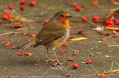 le rouge gorge de mon jardin