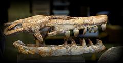 crâne de Reptile , Crétacé marocain